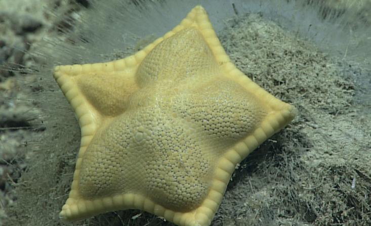 """Estrella de mar goniasterida, Plinthaster dentatus, popularmente llamada una estrella """"cookie"""" o estrella de mar """"ravioli"""" (Imagen cortesía de la Oficina de Exploración e Investigación Oceánica de la NOAA)"""