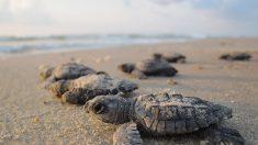 Tortugas marinas mueren aplastadas por automóviles en una playa de México