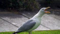 Rescatan a un ave anaranjada brillante que resultó ser una gaviota cubierta de curry