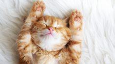 """Gatita japonesa que duerme como """"humano"""" ya es una celebridad en Instagram"""