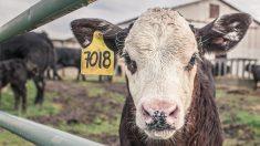 Capturan en vídeo cómo abusan de terneros en una de las granjas más grandes de Estados Unidos