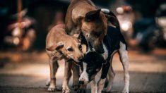 Hombre patea a perro callejero, y el canino regresa para atacar el auto con sus amigos