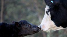 """Vaca """"llora"""" toda la noche cuando se llevan a su ternero para venderlo: su reencuentro es muy emotivo"""