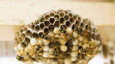 Video muestra el interior de un panal de avispas y fascina a millones