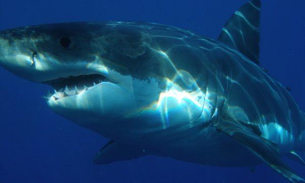 Foto de archivo de un tiburón. (Skeeze/Pixabay).