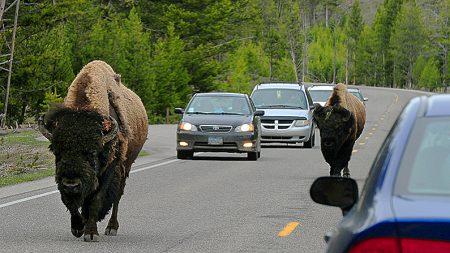 VIDEO: Un bisonte gigante embiste el auto de alquiler de una familia en Yellowstone