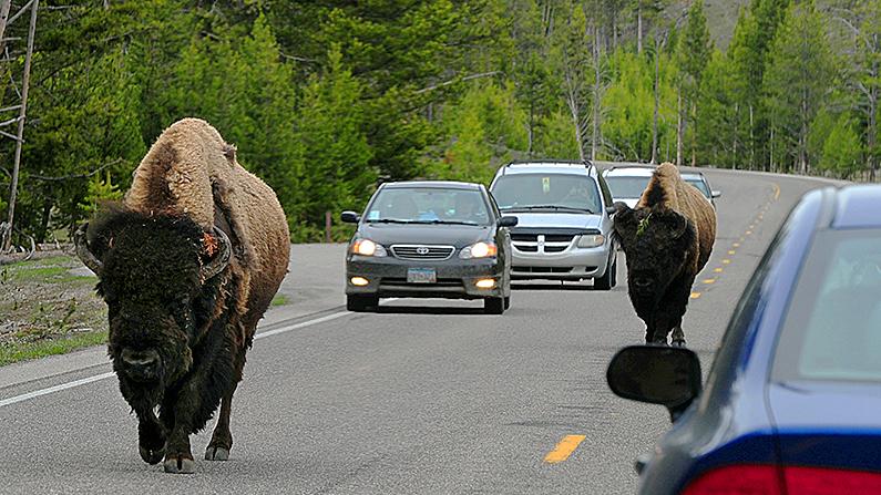 Un bisonte americano, también conocido como Buffalo, se une al viaje matutino por la autopista 89 en el Parque Nacional Yellowstone, Wyoming el 1 de junio de 2011. (Mark Ralston/AFP/Foto de archivo a través de Getty Images)