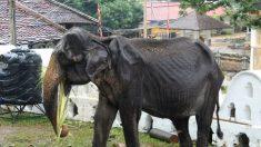 Colapsa el elefante demacrado de las fotos virales de Sri Lanka, revelan autoridades
