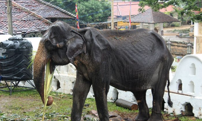 Tikiri, un elefante escuálido de 70 años de edad, comiendo en el Templo del Diente en la ciudad central de Kandy el 13 de agosto de 2019. (STR/AFP/Getty Images)