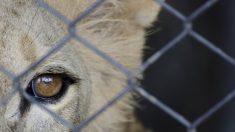 Puma encadenado a un camión por 20 años en Perú queda perplejo e incrédulo al ser liberado