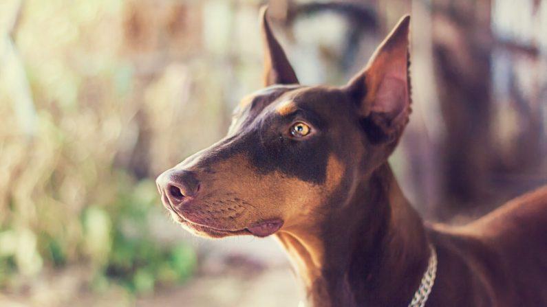 Foto de archivo de un perro Doberman. (Juanedc | Flickr)