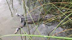 Encuentran un caimán con la cola cortada y ofrecen UDS 1000 de recompensa para atrapar al culpable