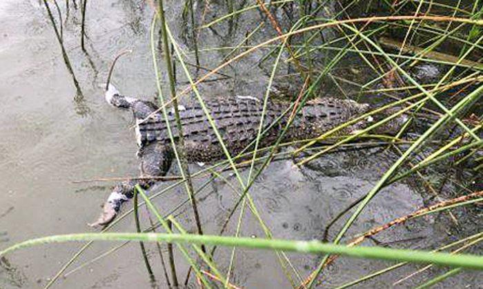 Este caimán fue encontrado muerto y sin cola en Lake Worth, Texas, el 1 de agosto de 2019. (Operación Juego Ladrón/Facebook)