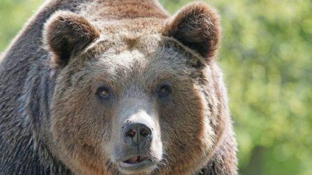 Niño de 13 años es mordido en la cara por un oso mientras dormía en su campamento