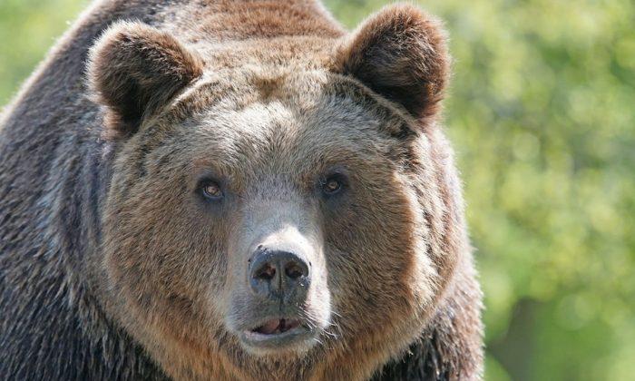 Imagen ilustrativa de un oso. (Pixel-mixer/Pixabay)
