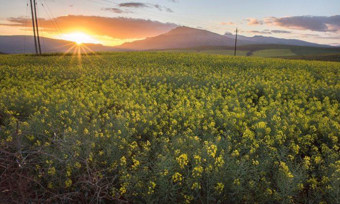 El sol se pone sobre campos de canola cerca de Botrivier, en la provincia del Cabo Occidental en Sudáfrica, el 28 de agosto de 2019. (RODGER BOSCH/AFP/Getty Images)