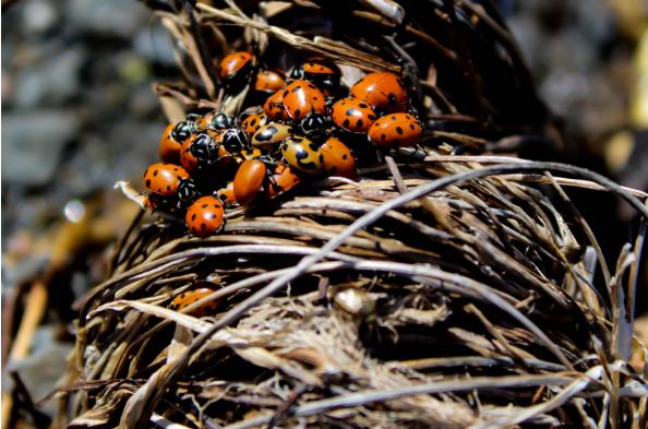 Insectos mariquitas