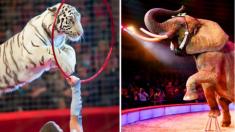 ¡No más explotación de animales salvajes en los circos de Reino Unido! Ley entrará en vigor en 2020