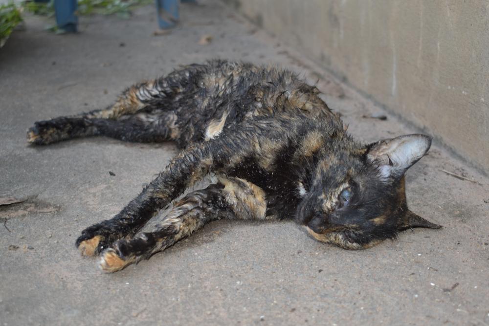 gato maltratado, atigrado