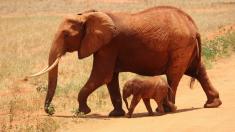 Elefante rescatada lleva a sus bebés de visita sorprendiendo a la familia humana que la crió