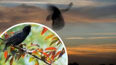 """Increíbles fotos muestran pájaros formando un """"ave gigante"""" para protegerse de su depredador"""