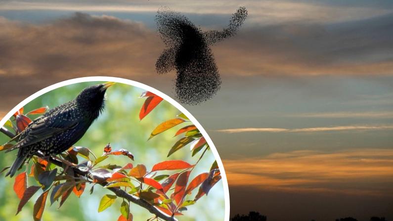 Pájaros estorninos. Imagen Ilustrativa. (AdinaVoicu/Pixabay | MENAHEM KAHANA/AFP/Getty Images)