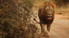 Ataque de un león a un antílope sorprende a turistas en un safari