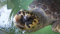 Hallan tortuga sin vida atrapada en un palé de madera que flotaba en costa de España
