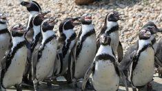 Hallan fósil de un pingüino gigante en Nueva Zelanda que tenía el tamaño de una persona