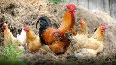 Un santuario animal vegano en España no junta gallos con gallinas para que no las violen