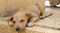 Rescatan a perrito deshidratado en medio del incendio que devasta a Gran Canaria