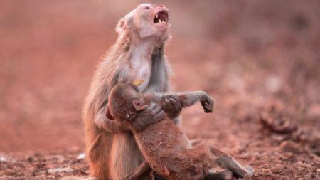 "Desgarradora foto de mona desconsolada acunando a su bebé ""sin vida"" se vuelve viral"