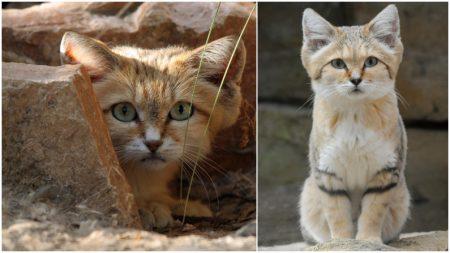 """El gato árabe de arena es """"casi invisible"""", pero una cámara logra captarlo por primera vez en 10 años"""