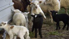 Dan 10 días a pastor jubilado para que mate sus ovejas en España