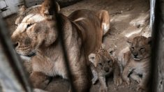 Una leona se come a sus crías tres días después de dar a luz en un zoológico alemán