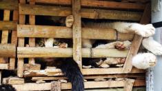 Voluntarios rescatan a más de 600 gatos de ser convertidos en salchichas en China
