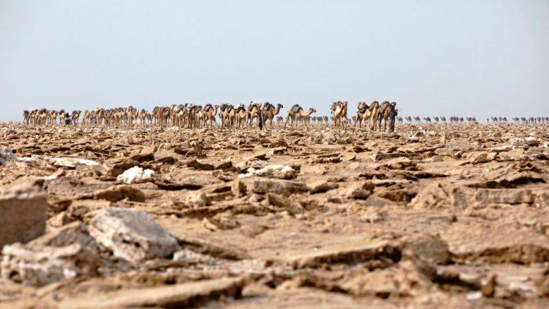 Una caravana de camellos entra en la zona salinera de la depresión de Danakil el 28 de marzo de 2017, en Afar. Todas las mañanas, cientos de hombres convergen en un lecho seco de un remoto rincón de Etiopía, donde abren el suelo con puños para extraer la sal, tal como lo hicieron sus padres y abuelos. (ZACHARIAS ABUBEKER/AFP/Getty Images)