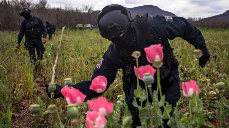 Agentes de policía confiscan flores ilegales de amapola durante una operación en la aldea de Los Pericos, municipio de Mocorito, en el estado de Sinaloa, México, el 15 de marzo de 2018. México está siendo azotado por una guerra de carteles de la droga que disputan su lugar y el tráfico a  Estados Unidos con una ferocidad inusual y armas sofisticadas. (RASHIDE FRIAS/AFP/Getty Images)