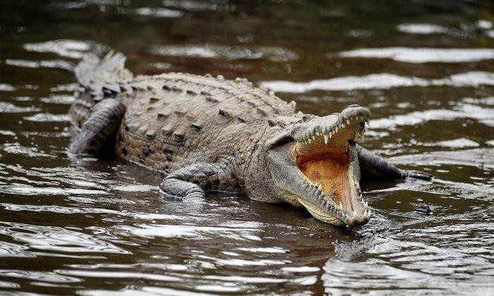Imagen de archivo de un cocodrilo. (Yuri Cortez/AFP/Getty Images)