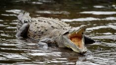 Granjero australiano encuentra una placa quirúrgica humana en el estómago de un cocodrilo gigante