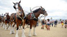 Los caballos más grandes del mundo deslumbran con la imponente fortaleza que los llevó a los Guinness