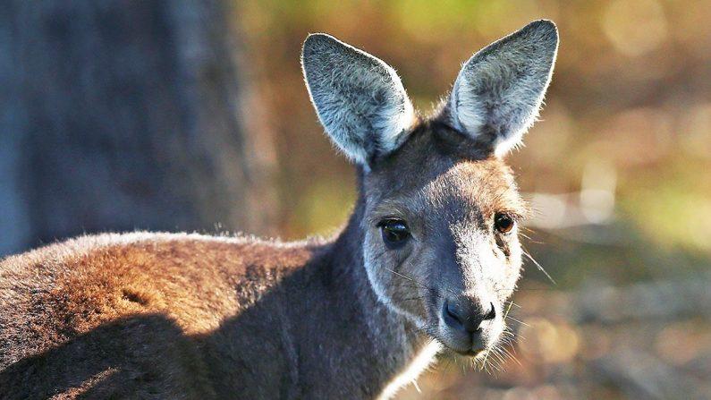 Un canguro en el Lake Karrinyup Country Club en Perth, Australia, el 6 de febrero de 2018. (Paul Kane/Getty Images)