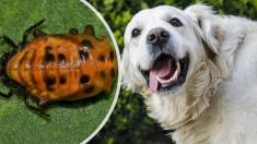 Si a tu perro le sale espuma de la boca y actúa extraño, ¡podría tener este raro escarabajo asiático!