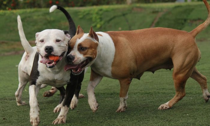 Imagen ilustrativa de dos pitbulls. (TC-TORRES/Pixabay)