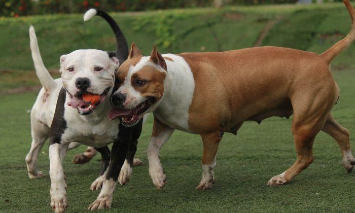 Imagem ilustrativa de dois pit bulls (TC-TORRES / Pixabay)