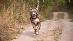 Famoso pitbull gigante de 80 kilos es padre de 8 cachorros cuyo precio de venta es ¡inconcebible!