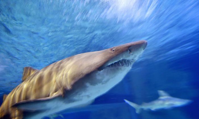 Imagen de archivo de un tiburón martillo. (Loic Venance/AFP/Getty Images)