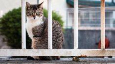 Gato intenta ingresar con celulares a una cárcel de Costa Rica y la policía tarda 5 hs en atraparlo