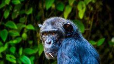 Hay más de 800 chimpancés caminando como humanos y las razones son indignantes