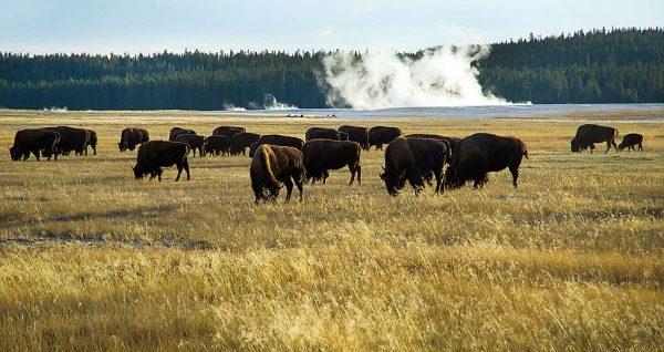 Pequeno grupo de búfalos de Yellowstone pasta no Parque Nacional de Yellowstone, no Wyoming, na tarde de 8 de outubro de 2012 (Karen Bleier / AFP / GettyImages)